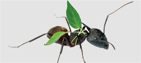 can ants fly when ants can fly california magazine