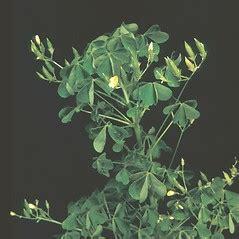 oxalis stricta common yellow wood sorrel  botany