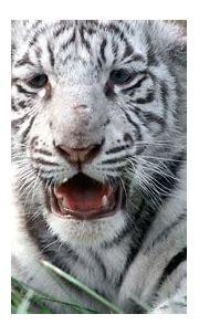 nature, White, Animals, Tigers, Wildlife, Bengal, Tigers ...