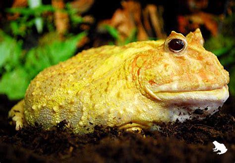frog ranch albino argentine horned frog  frog ranch