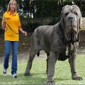 Os impressionantes maiores cães do mundo - À toa na Net ...