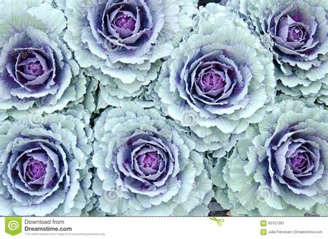 ornamental cabbage plants for sale cabbage stock photo image 60157391