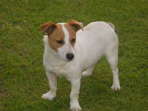 Small Jack Russell found brown head and brown spot on her ...