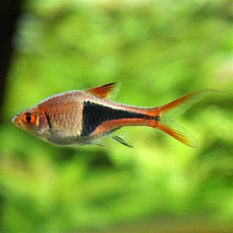 mini poissons pour nano aquariums nanodouce
