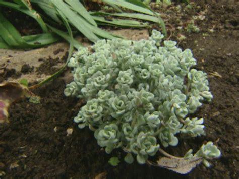 sedum succulent sedum and other succulents hgtv