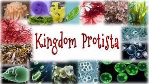 Kingdom Protista Pictures | www.pixshark.com - Images ...