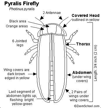 firefly  lightning bug printout enchanted learning