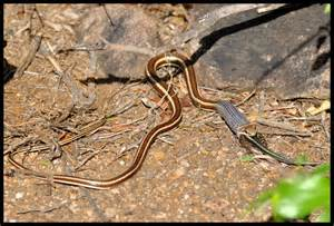 African Sand Snake