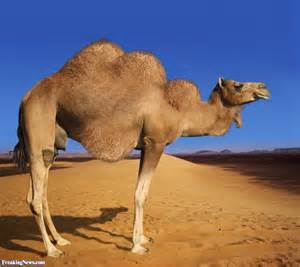 Camel with Three Humps Pictures