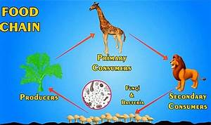 Food Chain  Food Web  Definition And Energy Pyramid