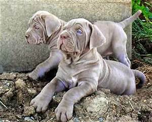 Everything about your Mastiff - LUV My dogs