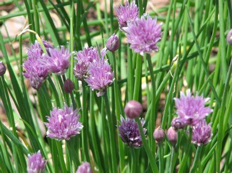 ciboulette une herbe indispensable