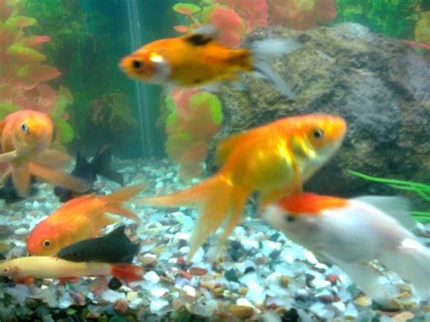 fish aquariums pet shop ahmedabad gold fish aquarium