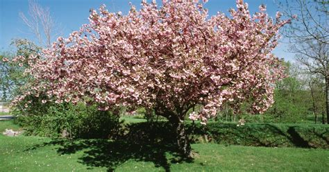cherry tree not flowering types of japanese cherry trees ehow uk