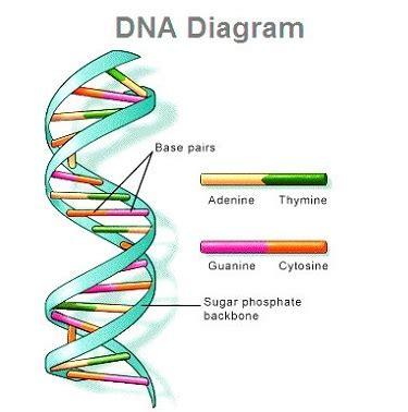 Genetic Diagram Gene Dna by Dna Diagram Human Dna Diagram Of Dna Dna Diagram