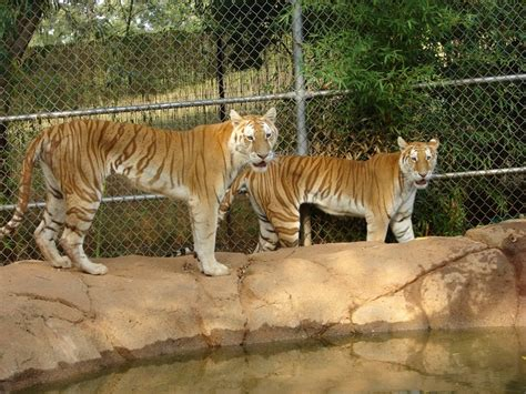 Best Images About Cats Tiger Creek Pinterest