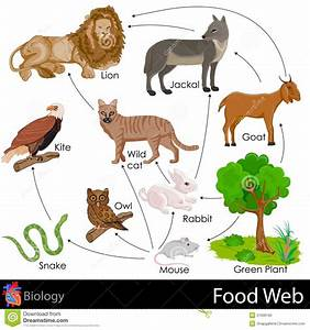 Food Web Stock Illustration  Image Of Carnivore