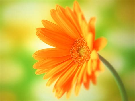 Spring Daisy Flower Wallpaper