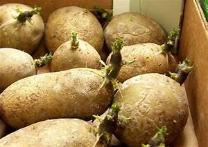 Kartoffeln Lagern Ohne Keller : lichtkeime an kartoffeln definition dunkelkeime an lagerkartoffeln ~ Frokenaadalensverden.com Haus und Dekorationen