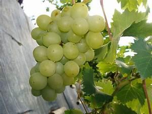 Achat Pied De Vigne Raisin De Table : acheter pied de vigne good covigneron chteau virant with acheter pied de vigne cool with ~ Nature-et-papiers.com Idées de Décoration