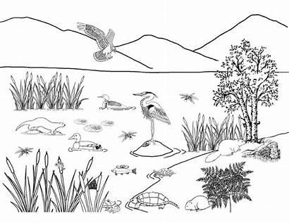 Wetland Drawing Muskrat Turtle Template Coloring Animals