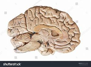 Real Human Half Brain Anatomy Isolated Stock Photo ...