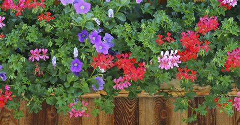 Geranien überwintern Im Blumenkasten by Unfrage Die Beliebteste Balkonpflanzen Mein Sch 246 Ner Garten