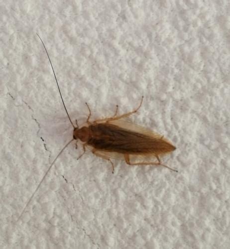 insecte de cuisine ectobius sp insecte à la maison ferait il partie des cafards le monde des insectes