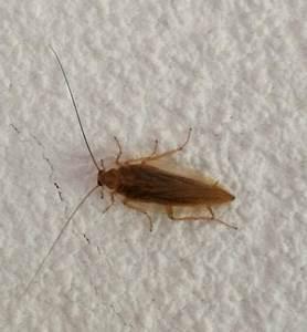Insecte De Maison : ectobius sp insecte la maison ferait il partie des ~ Melissatoandfro.com Idées de Décoration