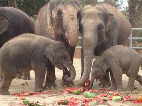 elephant cuisine facts about elephants