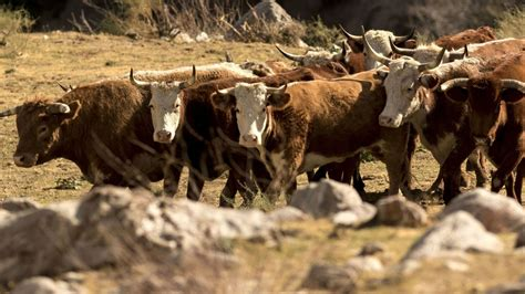 Feral Cattle Terrorize Hikers And Devour Native Plants In