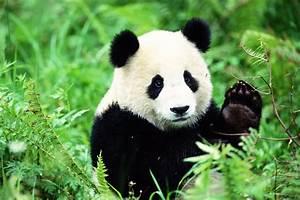 Panda Peluche Géant : augmentation du nombre de pandas g ants durant la derni re d cennie e dune ~ Teatrodelosmanantiales.com Idées de Décoration