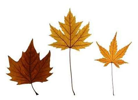 different maple tree leaves how to identify maple tree varieties