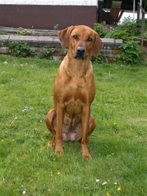 rhodesian ridgeback der hund mit dem tropfen loewenblut