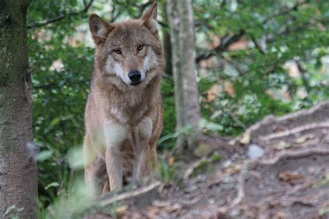 images wildlife coyote fauna vertebrate