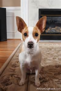 rat terrier rat terrier small dogs