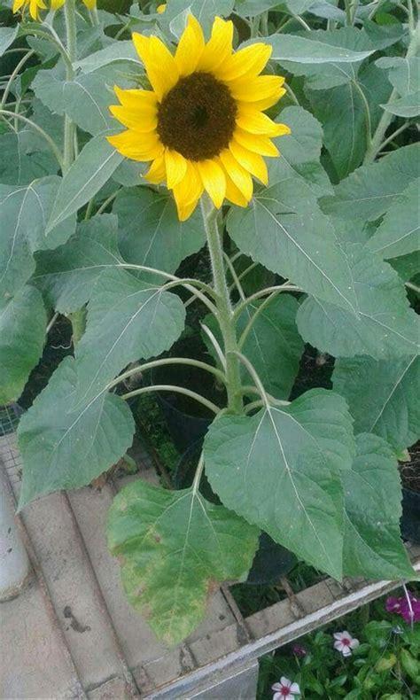 jual bunga matahari mini  lapak  enengbibit handokoageng