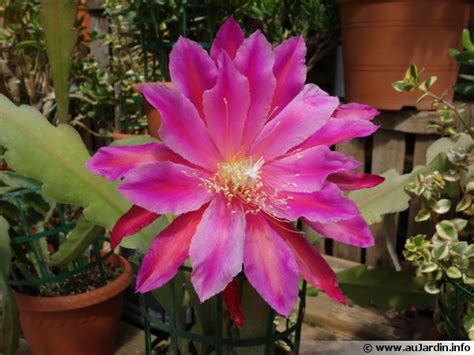 cactus orchidée epicactus epiphyllum conseils de culture