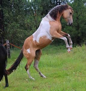 Pre cut rearing paint horse by TWM91 on DeviantArt