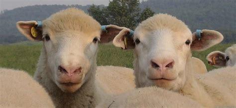 K Bar K Farm- Dorset Sheep