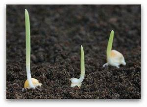 Seed Sprouting Chart How To Plant Corn In Your Vegetable Garden