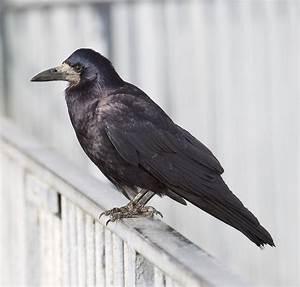 Was Fressen Raben Gerne : corbeau freux wikip dia ~ Lizthompson.info Haus und Dekorationen