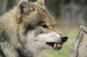 Angry Wolf Royalty Free Stock Images - Image: 18069029
