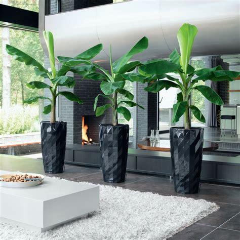 planter un bananier bananier nain cavendish hauteur 100cm pot diam 232 tre 21cm gamm vert