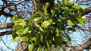 Mistletoe, a parasitic plant, lives on trees | Shelby ...