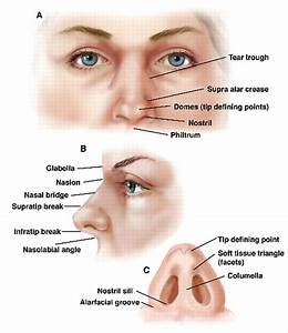 nose anatomy - Google Search | Facial Anatomy / Reference ...