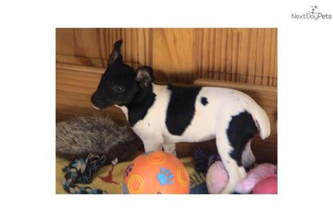 meet dynamite  cute rat terrier puppy  sale