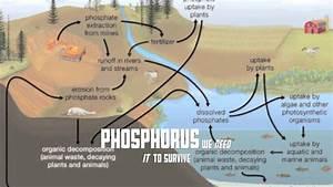Phosphorus Cycle Video