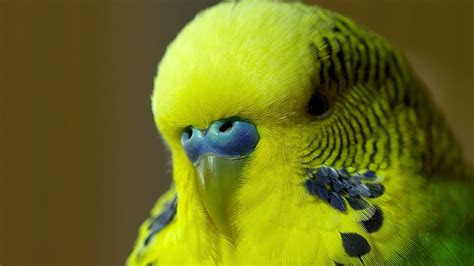 Budgie Wallpapers High Quality Download Free