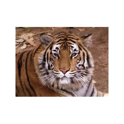 BENGAL TIGERS HD WALLPAPERS ~
